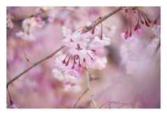 Weeping cherry tree #3