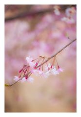Weeping cherry tree #4