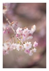 Weeping cherry tree #5