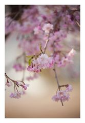 Weeping cherry tree #6