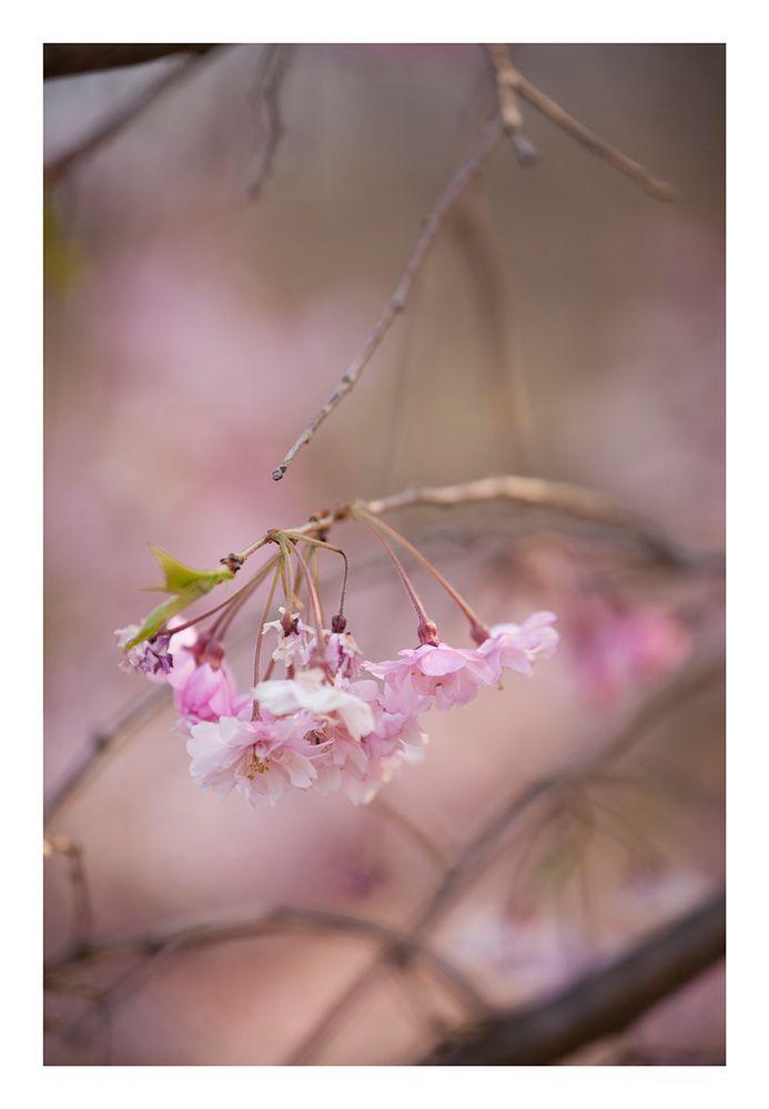 Weeping cherry tree #7