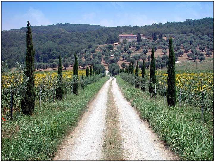 Weg durch das Sonnenblumenfeld