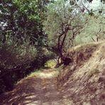 Weg durch einen Olivenhain unterhalb der Basilica des heiligen Franziskus von Assisi
