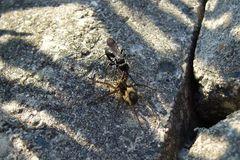 Wegwespe vs Spinne