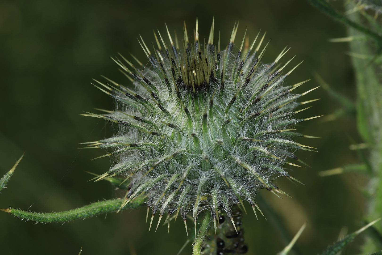 Wehrhafte Stacheln, Blütenkopf der Kratzdistel
