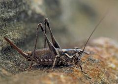 Weibchen der Atlantischen Bergschrecke (Antaxius pedestris).*