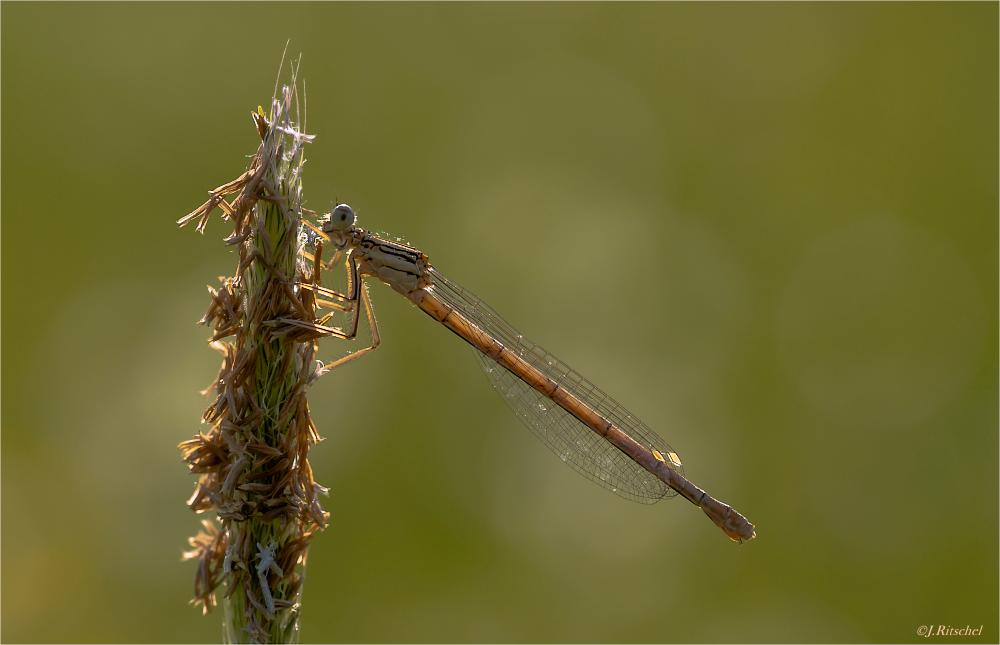 Weibchen der Blauen Federlibelle im Gegenlicht