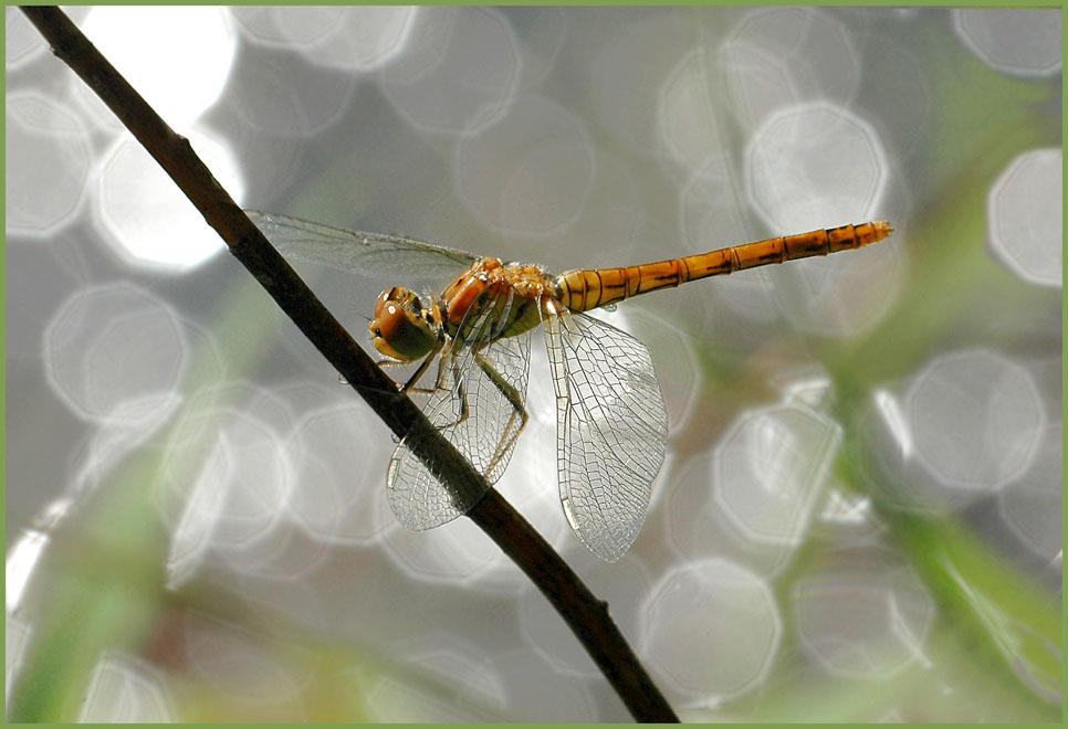 Weibchen der Heidelibelle