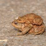 Weibchen trägt Männchen! Female carries male! Hembra lleva macho!