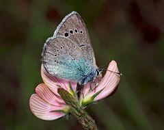Weibchen vom Alexis-Bläuling (Glaucopsyche alexis) * - Azuré des Cytises.