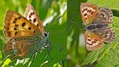 Weibchen vom Dukaten-Feuerfalter (Lycaena virgaurea). - Les femelles du Cuivré de la verge d'or.