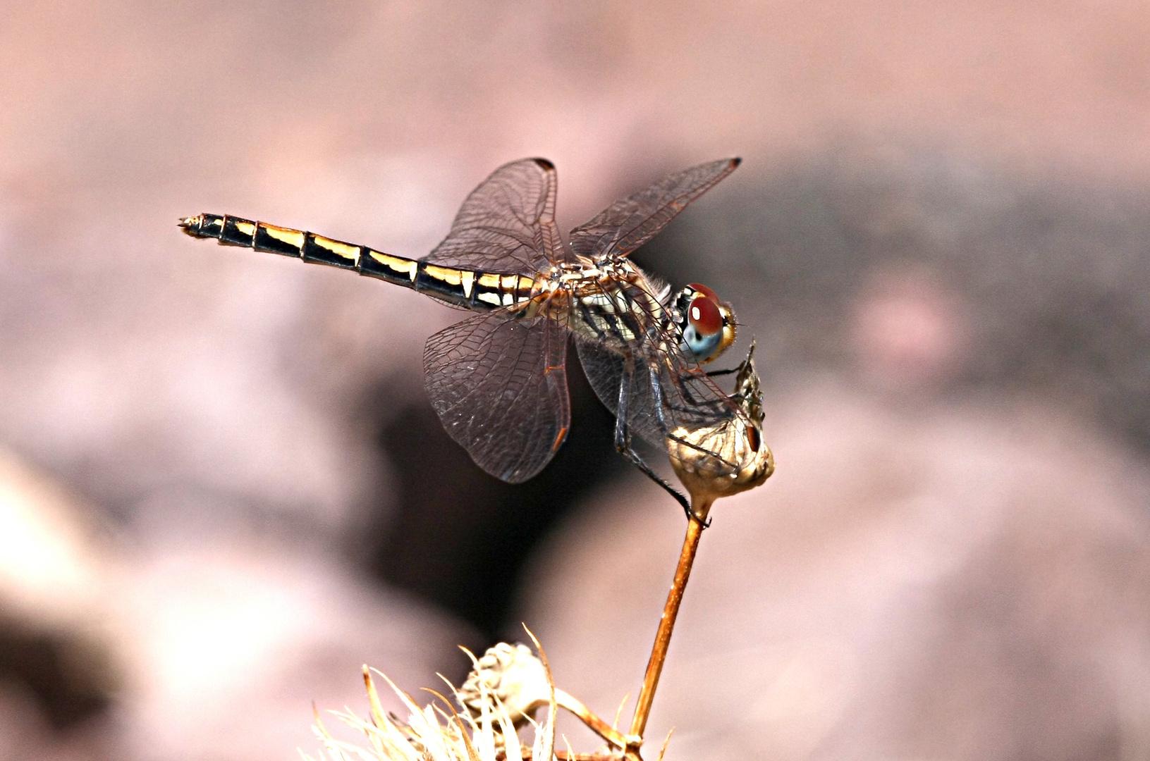 Weibchen von Trithemis arteriosa auf Gran Canaria
