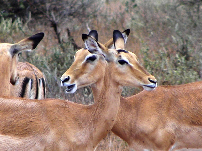 weibliche Impalas