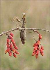 weibliche Mantis religiosa