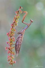 weibliche Mantis religosa