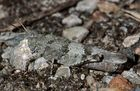Weibliche Ödlandschrecke, paarungsbereit