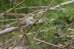 weibliche Sperbergrasmücke (Sylvia nisoria) ...