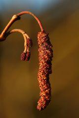 weibliche und männliche Blüten der Erle