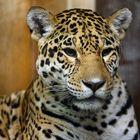 Weiblicher Jaguar