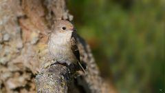weiblicher Trauerschnäpper (Ficedula hypoleuca) ...