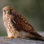 weiblicher Turmfalke (Falco tinnunculus) ...