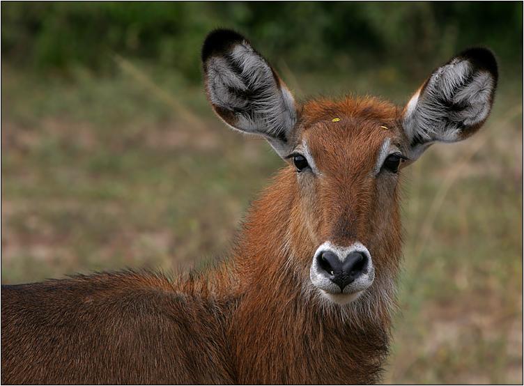 weiblicher wasserbock / waterbuck / kobus ellipsiprymnus