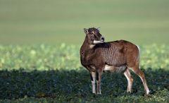 Weibliches Mufflon ( Schaf )