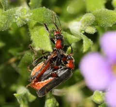 Weichkäfer (Cantharis fulvicollis)