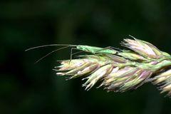 Weichwanze auf Grasrispe