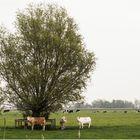 Weideland in Friesland.