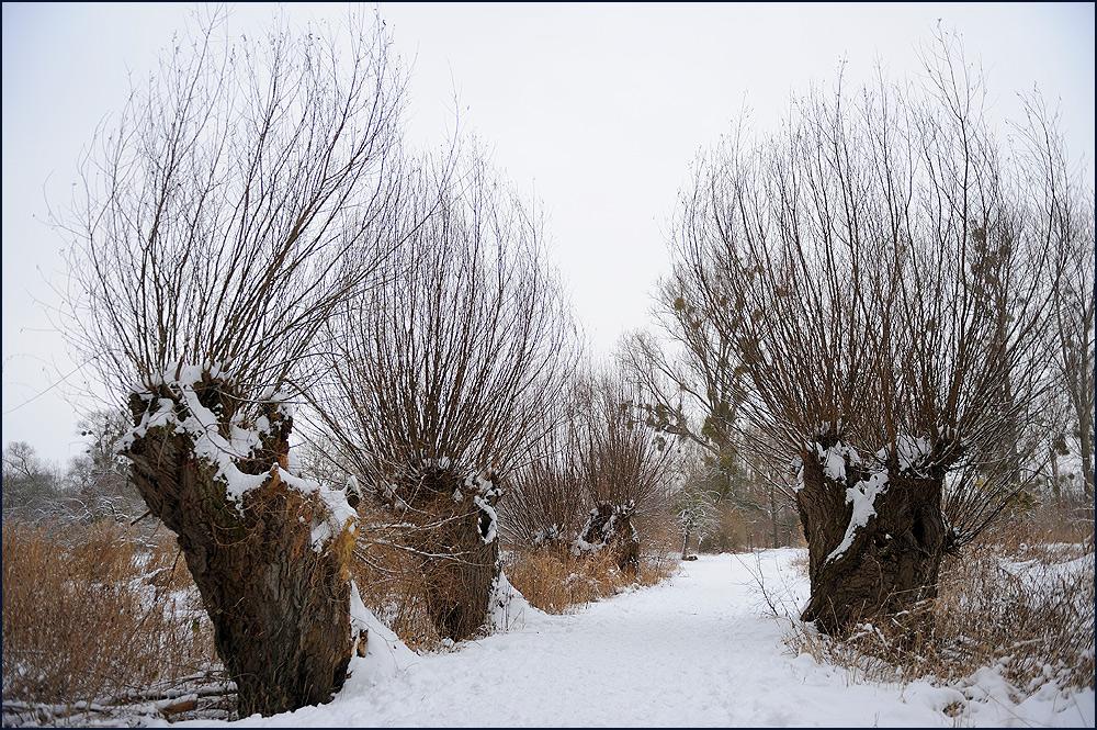 Weiden im Winter