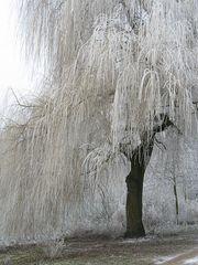 Weidenbaum im Rauhreif