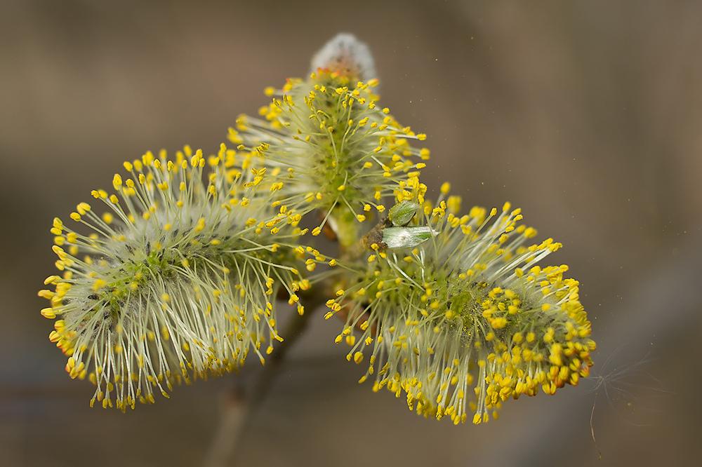 Weidenblütte