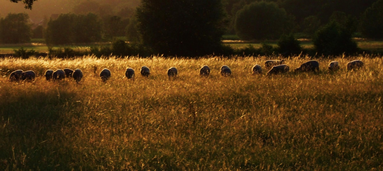 weidende Schafe in der Abendsonne