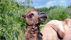 ... weidendes Kamel an der Weide ...