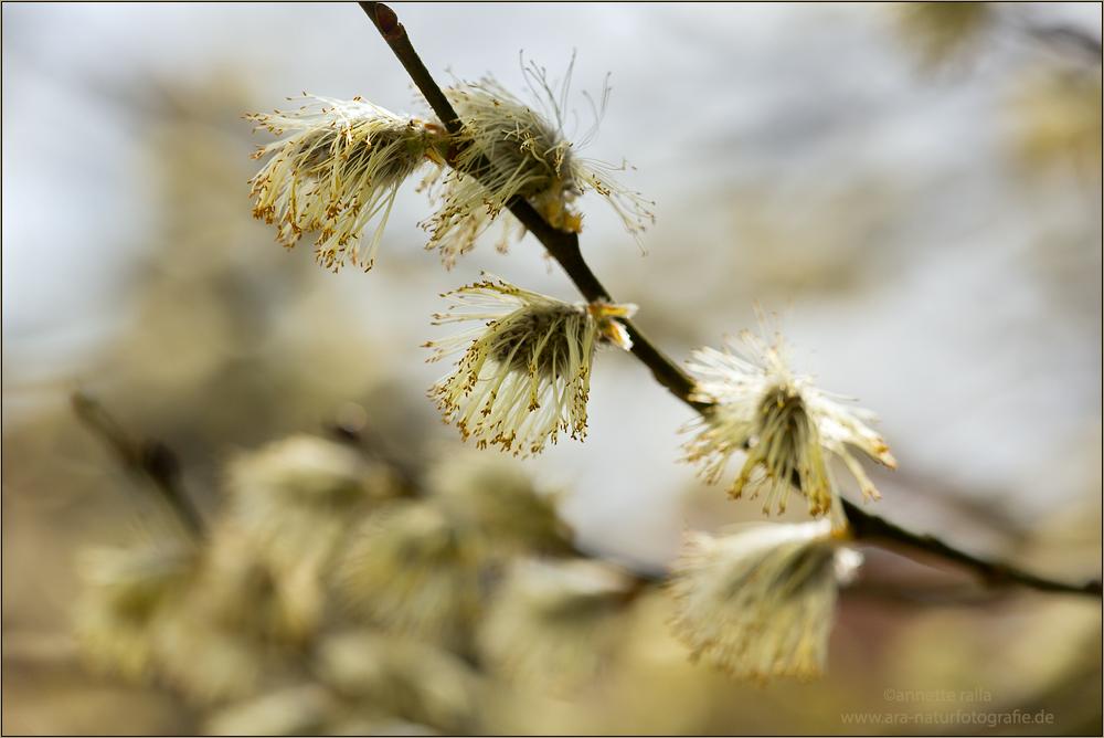 weidenk tzchen foto bild pflanzen pilze flechten. Black Bedroom Furniture Sets. Home Design Ideas