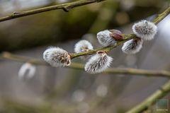 Weidenkätzchen im Frühling