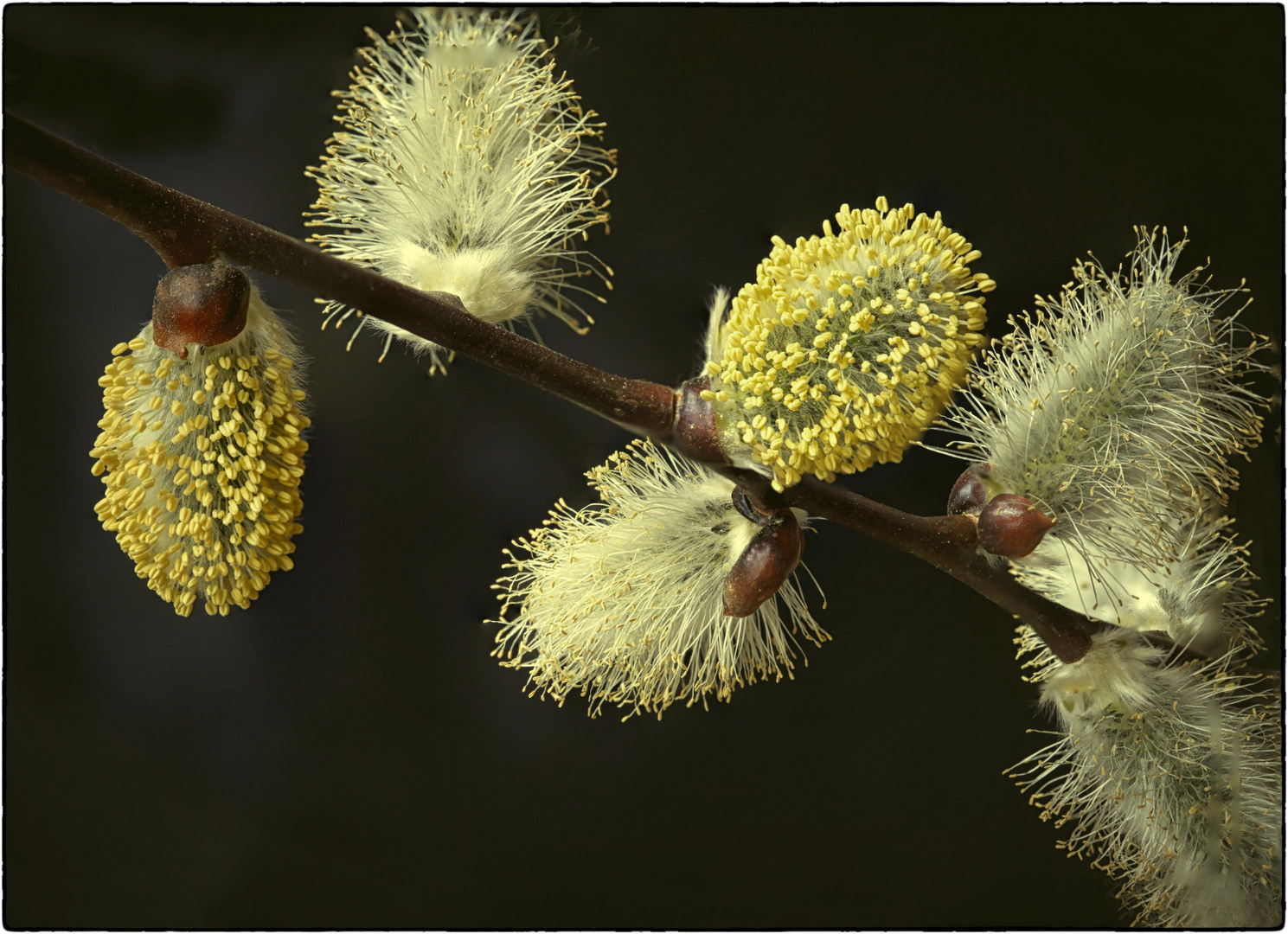 Weidenkätzchen - Nahrung für die Bienen