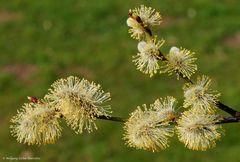 --- Weidenkätzchen ---Salix caprea )