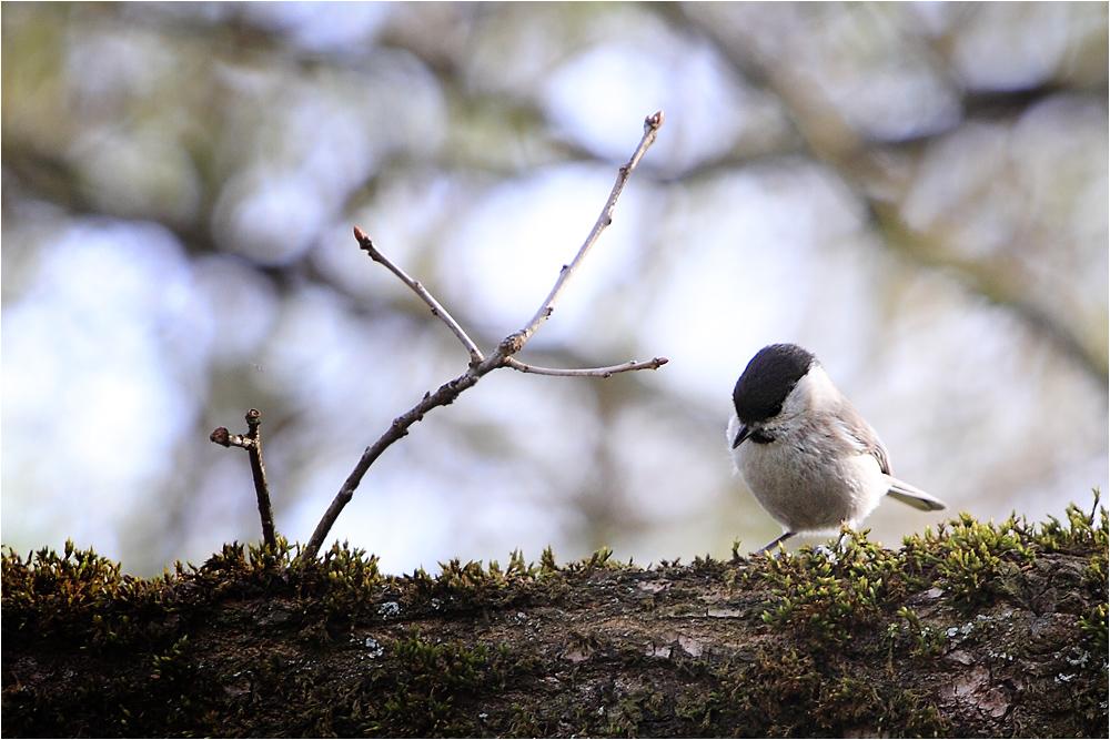 Weidenmeise (Parus montanus)