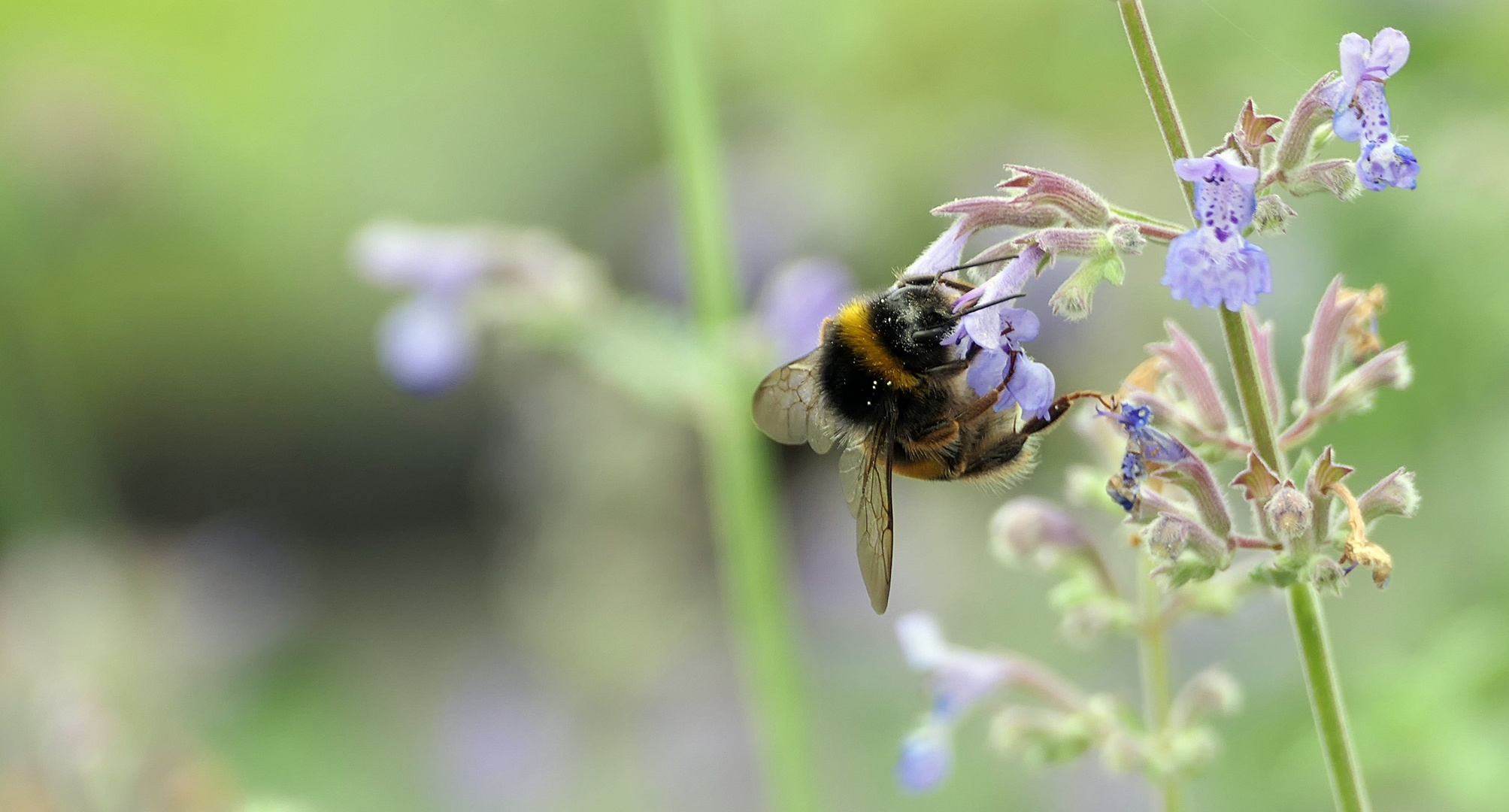 ... weighty bumblebee on a small flower