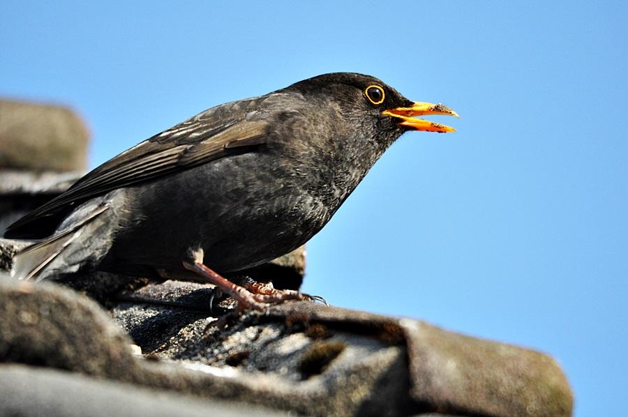 Weihnachts- Sänger ?!? Foto & Bild | tiere, wildlife, wild lebende ...