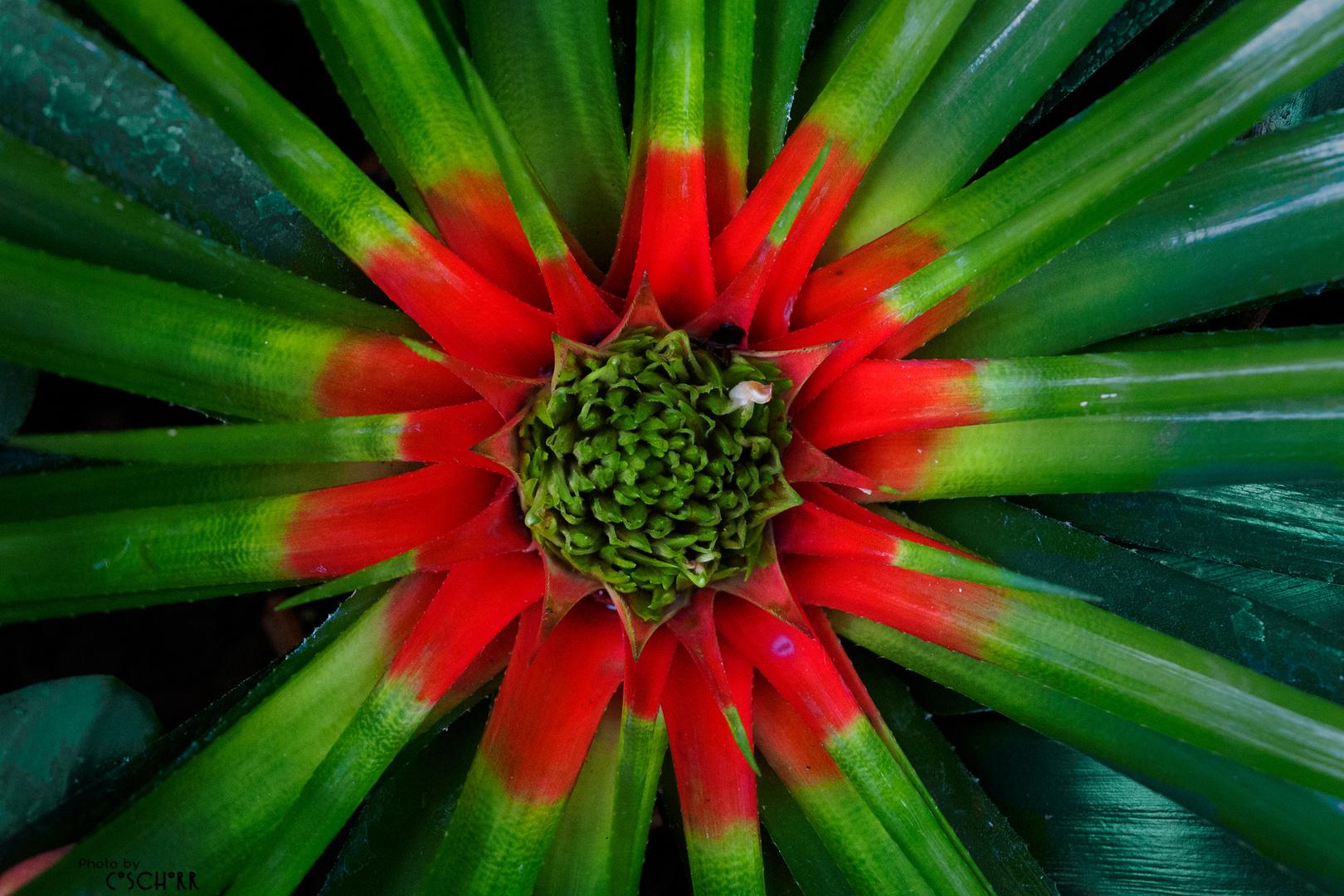 Weihnachtsfarben aus dem Tropischen Urwald