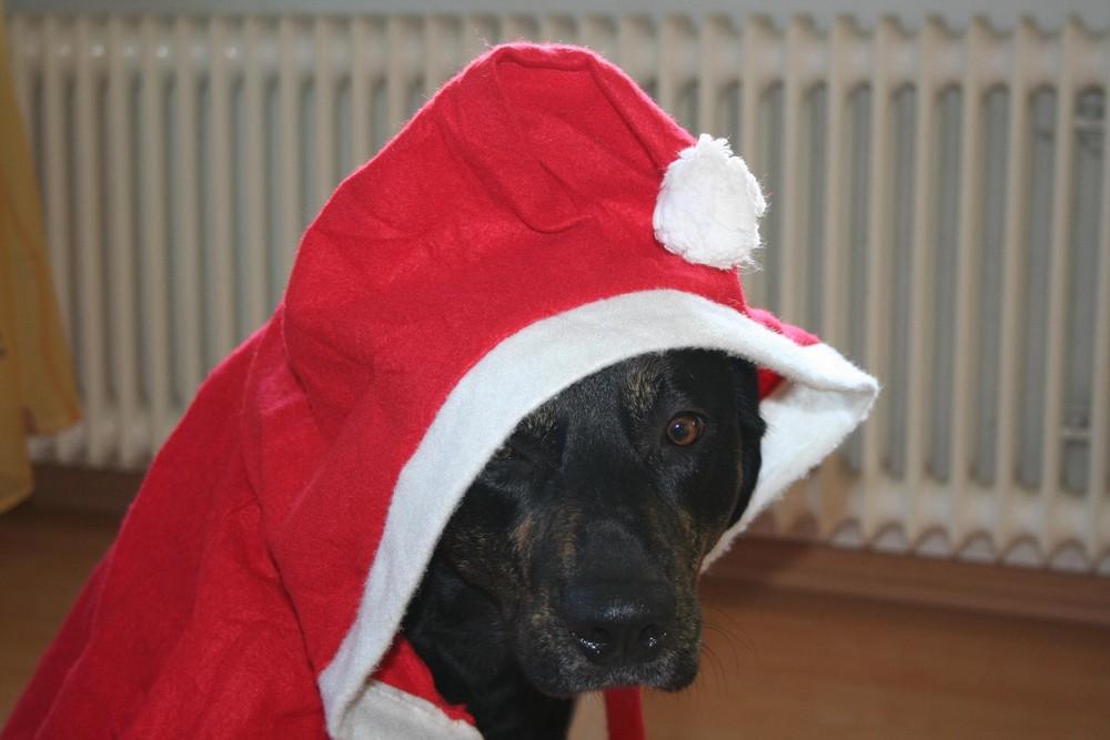 Weihnachtshund Foto & Bild | tiere, haustiere, hunde Bilder auf ...