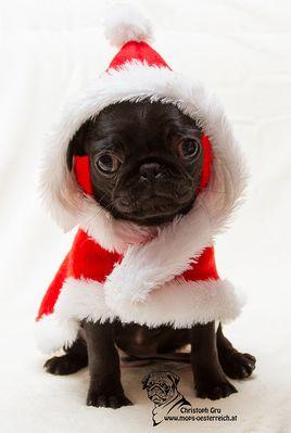 Mops Bilder Weihnachten.Mops Weihnachten Fotos Bilder Auf Fotocommunity