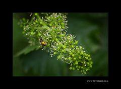 Wein Blüte #1