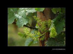 Wein Blüte #2