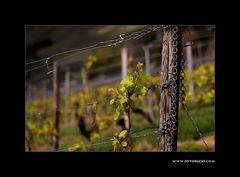 Wein Frühling #3