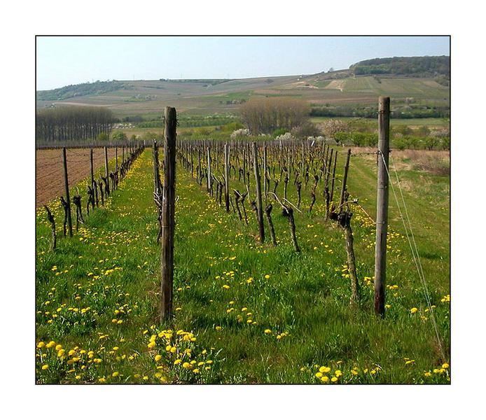 Wein im Frühling