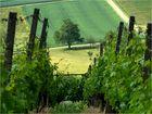 Weinanbau an der Limburg *